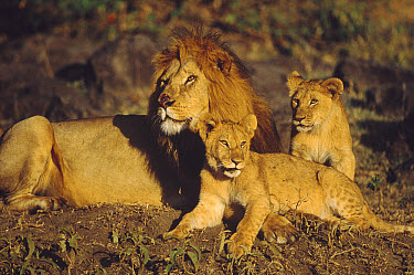 African Lion (Panthera leo) male with pair of cubs, Masai Mara National Reserve, Kenya  -  Shin Yoshino