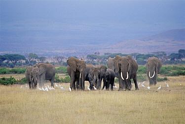 African Elephant (Loxodonta africana) herd, Amboseli National Park, Kenya  -  Shin Yoshino