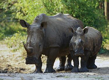 White Rhinoceros (Ceratotherium simum) mother and calf, Kenya  -  Shin Yoshino