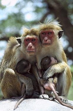 Toque Macaque (Macaca sinica) females with young, Sri Lanka  -  Shin Yoshino