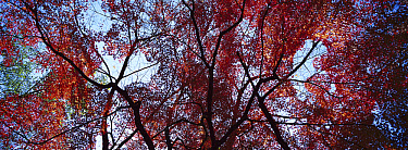 Forest in autumn colors, Japan  -  Shin Yoshino