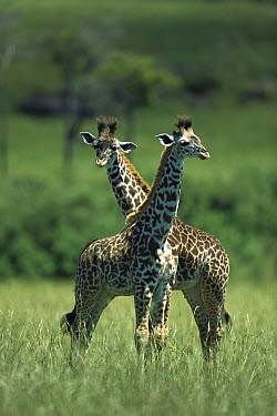 Masai Giraffe (Giraffa tippelskirchi) babies, Masai Mara, Kenya  -  Shin Yoshino