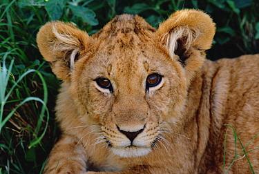 African Lion (Panthera leo) cub, Masai Mara National Reserve, Kenya  -  Shin Yoshino