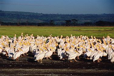 Great White Pelican (Pelecanus onocrotalus) flock, Lake Nakuru, Kenya  -  Shin Yoshino