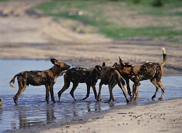 African Wild Dog (Lycaon pictus) group playing in water, Savute, Botswana  -  Shin Yoshino