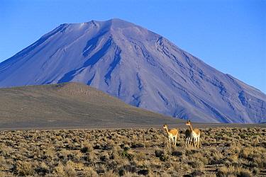 Vicuna (Vicugna vicugna) pair with Misti Volcano in the background, Peru  -  Kevin Schafer