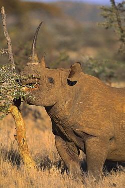 Black Rhinoceros (Diceros bicornis) browsing on acacia tree, Lewa Downs Reserve, Kenya  -  Kevin Schafer