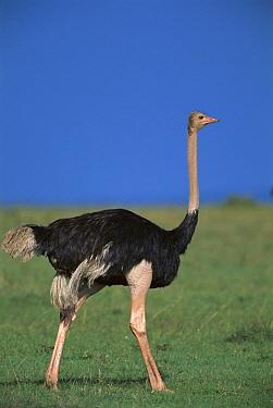 Ostrich (Struthio camelus) male, Masai Mara, Kenya  -  Kevin Schafer