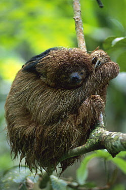 Maned Sloth (Bradypus torquatus) resting in tree, Atlantic Forest, Brazil  -  Kevin Schafer