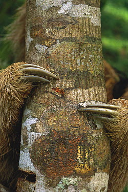 Maned Sloth (Bradypus torquatus) clinging to tree trunk showing claws, Atlantic Forest, Brazil  -  Kevin Schafer