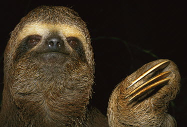 Brown-throated Three-toed Sloth (Bradypus variegatus) portrait, Brazil  -  Kevin Schafer