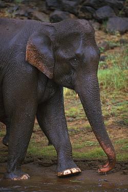 Asian Elephant (Elephas maximus) walking, Periyar Tiger Reserve, India  -  Kevin Schafer