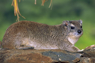 Small-toothed Rock Hyrax (Heterohyrax brucei) on rock, Masai Mara, Kenya  -  Kevin Schafer