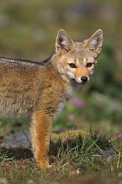 South American Gray Fox (Lycalopex griseus), Torres Del Paine National Park, Chile  -  Kevin Schafer