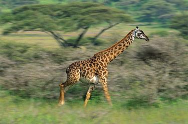 Masai Giraffe (Giraffa tippelskirchi) running, Serengeti National Park, Tanzania  -  Kevin Schafer