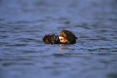Giant River Otter (Pteronura brasiliensis) eating fish, Peru  -  Kevin Schafer