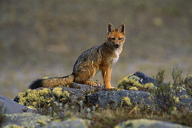 Culpeo (Lycalopex culpaeus) fox sitting on rocks, Cotopaxi National Park, Andes, Ecuador  -  Kevin Schafer