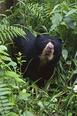 Spectacled Bear (Tremarctos ornatus) female, La Planada Nature Reserve, Colombia  -  Kevin Schafer