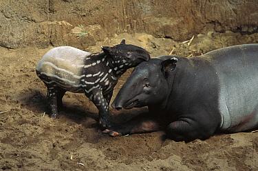 Malayan Tapir (Tapirus indicus) mother and calf, native to southeast Asia  -  Kevin Schafer