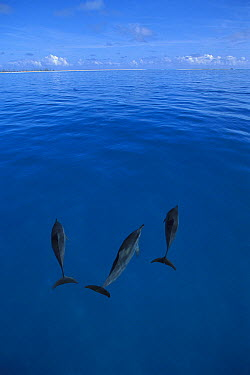 Spinner Dolphin (Stenella longirostris) trio, Midway Atoll, Hawaiian Leeward Islands, Hawaii  -  Kevin Schafer