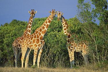Reticulated Giraffe (Giraffa reticulata) trio, Kenya  -  Kevin Schafer