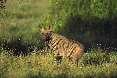 Striped Hyena (Hyaena hyaena), Serengeti National Park, Tanzania  -  Kevin Schafer