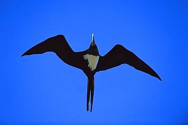 Ascension Frigatebird (Fregata aquila) male flying, Ascension Island, South Atlantic  -  Kevin Schafer