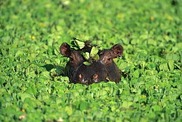 Hippopotamus (Hippopotamus amphibius) amid water lettuce, Masai Mara, Kenya  -  Kevin Schafer