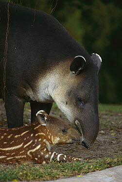 Baird's Tapir (Tapirus bairdii) mother with calf, Santa Rosa National Park, Costa Rica  -  Kevin Schafer
