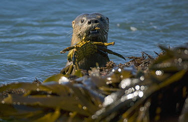 Marine Otter (Lontra felina) with crab, Chiloe Island, southern Chile  -  Kevin Schafer