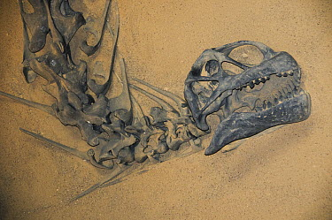 Camarasaurus dinosaur fossil from the Jurassic, College of Eastern Utah Collection  -  Kevin Schafer