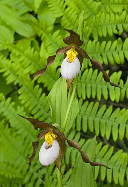 Mountain Lady's Slipper (Cypripedium montanum) orchid, eastern Cascade Mountains, Washington  -  Kevin Schafer