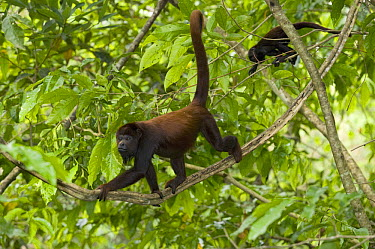 Red Howler Monkey (Alouatta seniculus) pair in canopy, Rio Negro, Amazon, Brazil  -  Kevin Schafer