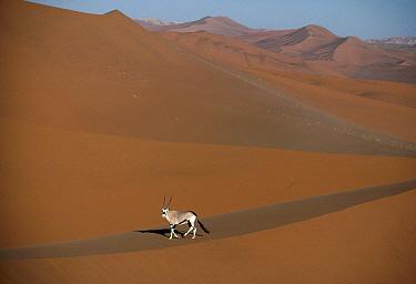 Gemsbok (Oryx gazella) walking across sand dune, Namib Desert, Namibia  -  Jim Brandenburg