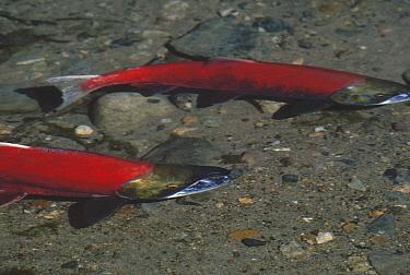 Sockeye Salmon (Oncorhynchus nerka) pair spawning, Lake Clark, Alaska  -  Jim Brandenburg