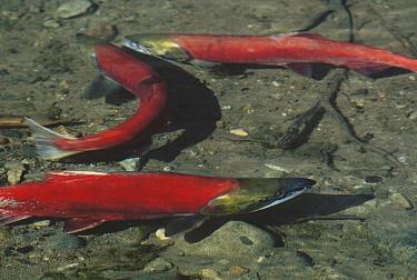 Sockeye Salmon (Oncorhynchus nerka) trio spawning, Lake Clark, Alaska  -  Jim Brandenburg