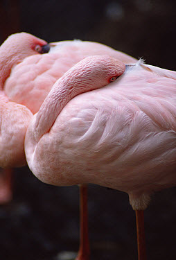 Lesser Flamingo (Phoenicopterus minor) pair sleeping  -  Jim Brandenburg