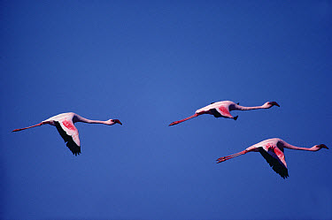 Lesser Flamingo (Phoenicopterus minor) trio flying, Namibia  -  Jim Brandenburg