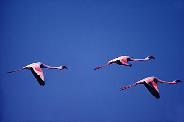 Lesser Flamingo (Phoenicopterus minor) trio flying, Namibia  -  Jim Brandenburg