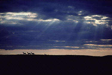Pronghorn Antelope (Antilocapra americana) group silhouetted on horizon, South Dakota  -  Jim Brandenburg