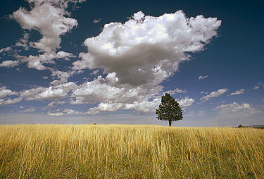 Ponderosa Pine (Pinus ponderosa) tree on prairie, Wind Cave National Park, South Dakota  -  Jim Brandenburg