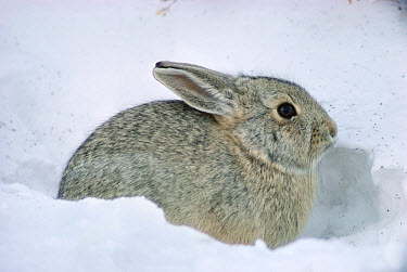 Cottontail Rabbit (Sylvilagus aquaticus) in snow, South Dakota  -  Jim Brandenburg