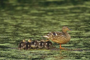 Mallard (Anas platyrhynchos) mother with ducklings on submerged log in pond, Minnesota  -  Jim Brandenburg