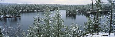 Early snowfall in coniferous forest, Boundary Waters Canoe Area Wilderness, Minnesota  -  Jim Brandenburg