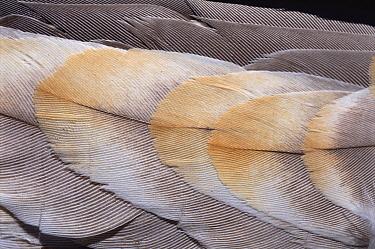 Sandhill Crane (Grus canadensis) feathers  -  Jim Brandenburg
