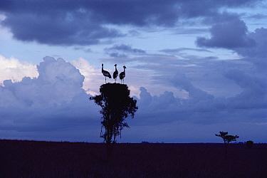 Black-crowned Crane (Balearica pavonina pavonina) trio perched on treetop, Namibia  -  Jim Brandenburg