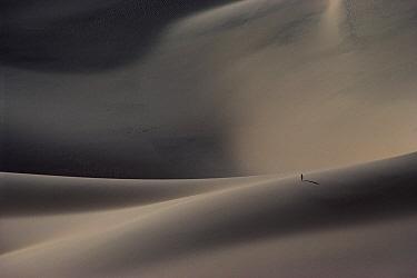Grey Heron (Ardea cinerea) on sand dune, Namib Desert, Namibia  -  Jim Brandenburg