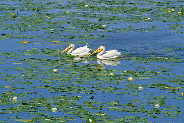 American White Pelican (Pelecanus erythrorhynchos) pair on lake surrounded by water lilies, Minnesota  -  Jim Brandenburg