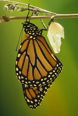 Monarch (Danaus plexippus) butterfly newly emerged from chrysalis, California  -  Jim Brandenburg