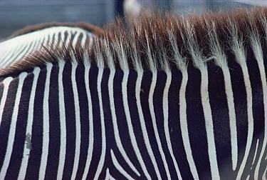 Burchell's Zebra (Equus burchellii) stripes, Namibia  -  Jim Brandenburg